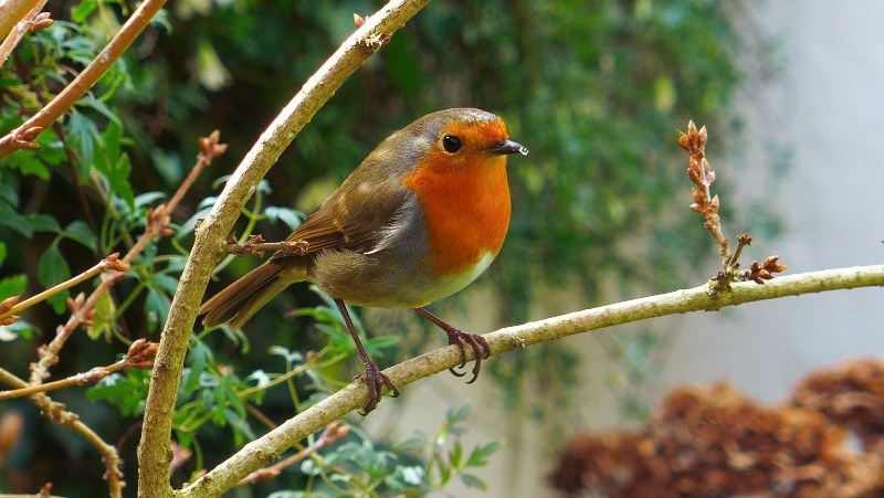 Cheeky Robin, by Steven Padmore